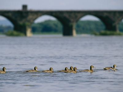 Ducks Paddle Across the Susquehanna River Near the Rockville Bridge-Raymond Gehman-Photographic Print