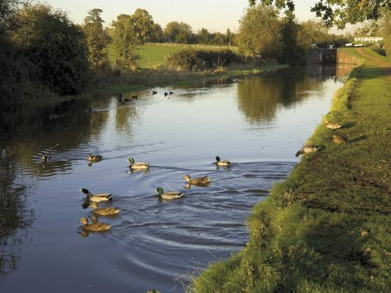 Ducks Swimming in the Worcester and Birmingham Canal, Astwood Locks, Hanbury, Midlands-David Hughes-Photographic Print