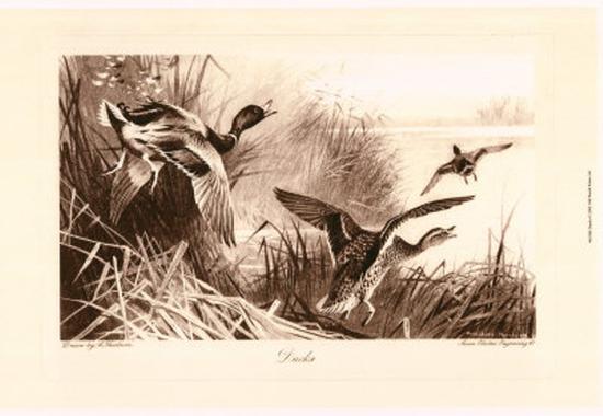 Ducks-Archibald Thorburn-Art Print