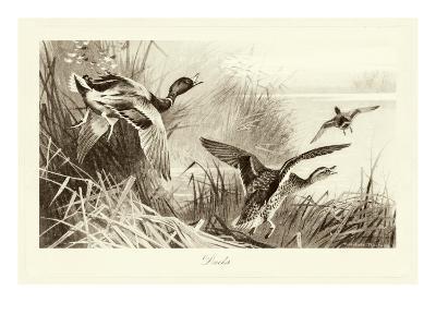 Ducks-A^ Thorburn-Art Print