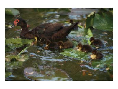 Ducky Swim-Steve Hunziker-Art Print