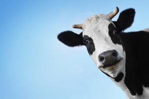 Funny Smiling Black And White Cow On Blue Clear Background by Dudarev Mikhail