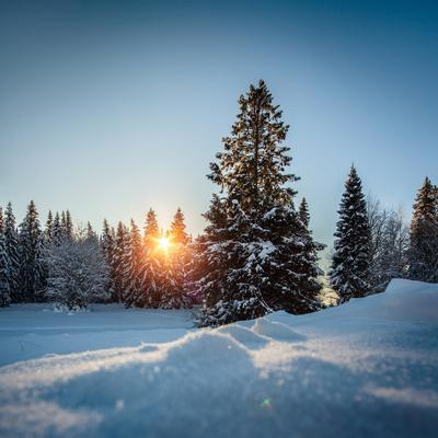 Winter Snowy Pine Trees at Sunset