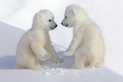 Dueling Polar Bear Cubs-Howard Ruby-Photographic Print