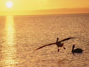 Brown Pelicans at Sunset by Dugald Bremner