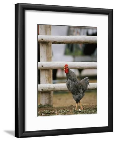 A Rooster Crowing by a Fence