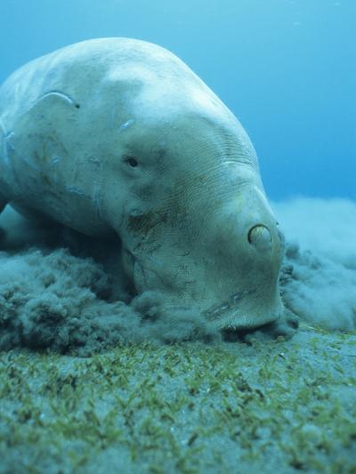 Dugong (Dugong Dugon) Feeding on Sea Grass-Louise Murray-Photographic Print