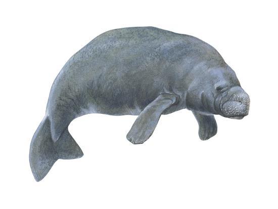 Dugong (Dugong Dugon), Mammals-Encyclopaedia Britannica-Art Print