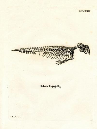 Dugong Skeleton--Giclee Print