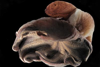 Dumbo Octopus (Grimpoteuthis Sp.) Barent'S Sea At Depth Of 1680 M, Atlantic Ocean-Solvin Zankl-Photographic Print