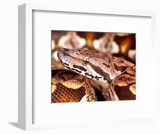 Dumeril's Boa, Native to Madagascar-David Northcott-Framed Photographic Print