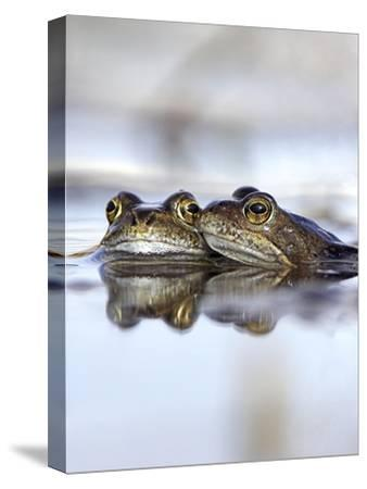 Common Frogs Spawning