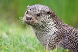 European Otter by Duncan Shaw