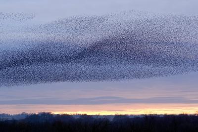 European Starling Flock