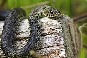 Grass Snake by Duncan Shaw