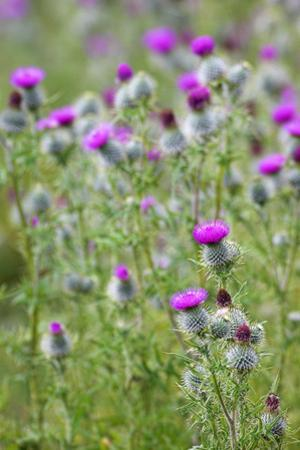 Spear Thistle (Cirsium Vulgare) by Duncan Shaw