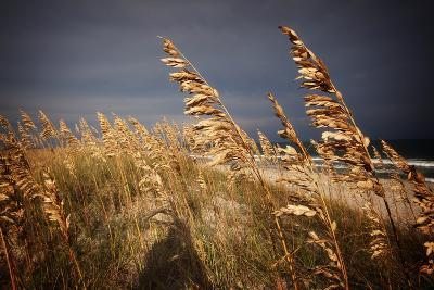 Dune Grasses in Cape Hatteras in North Carolina-Chris Bickford-Photographic Print