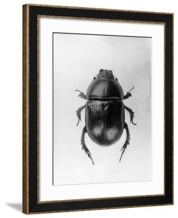 Dung Beetle--Framed Photographic Print