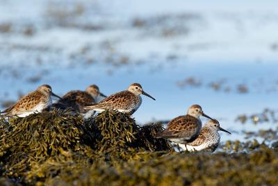Dunlin's Wading at the Estuary-James Harwood-Photographic Print