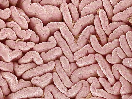Duodenum Villi from a Rat-Micro Discovery-Photographic Print