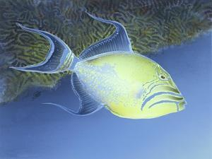 Trigger Fish by Durwood Coffey