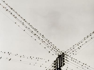 Swallows Perched on a Power Line