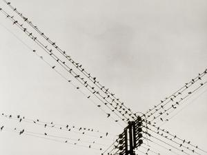 Swallows Perched on a Power Line by Dusan Stanimirovitch