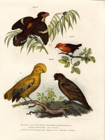 Dusky Broadbill, 1864--Giclee Print