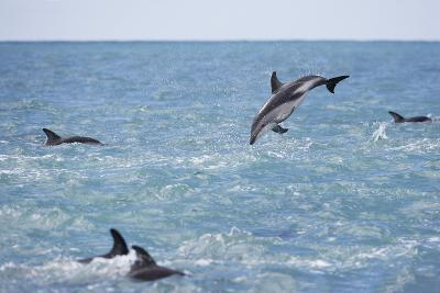 Dusky Dolphin Leaping-Paul Souders-Photographic Print
