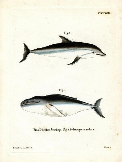 Dusky Dolphin--Giclee Print