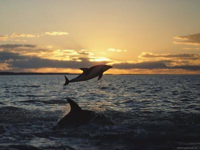 Dusky Dolphins-Bill Curtsinger-Photographic Print