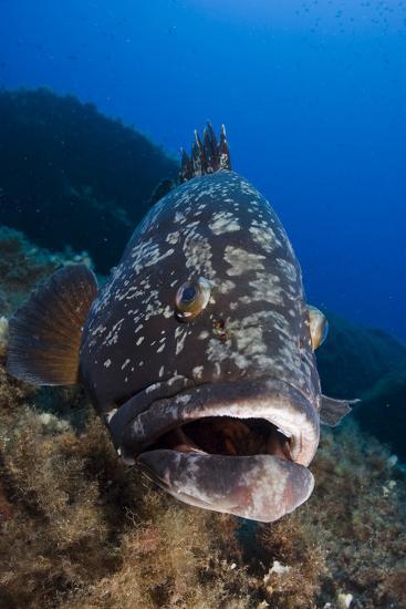 Dusky Grouper (Epinephelus Marginatus) Lavezzi Islands, Corsica, France, September- Pitkin-Photographic Print