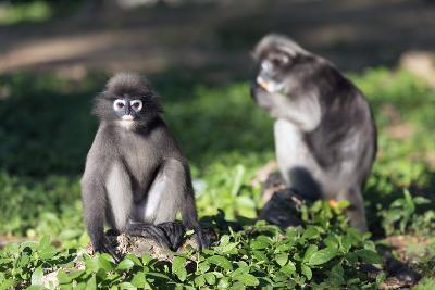 Dusky Langur Monkey (Trachypithecus Obscurus), Prachuap Kiri Khan, Thailand, Southeast Asia, Asia-Christian Kober-Photographic Print