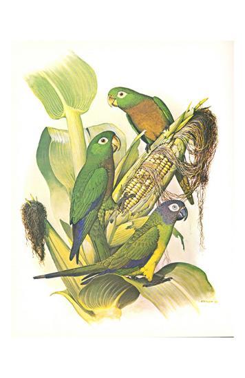 Dusky, Olive and Aztec Conures no. 400--Art Print