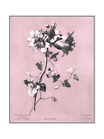 Dussurgey Amaryllis on Pink