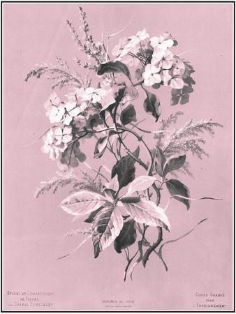 Dussurgey Hydrangea on Pink