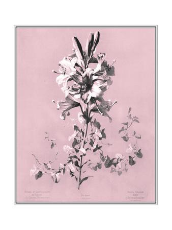 Dussurgey Lilium on Pink