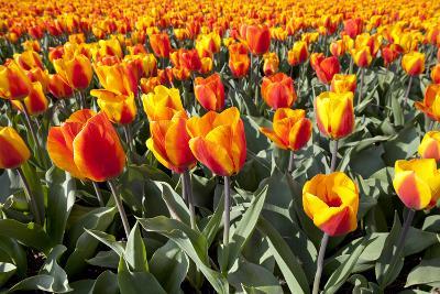 Dutch Tulip Fields in Springtime-picturepartners-Photographic Print