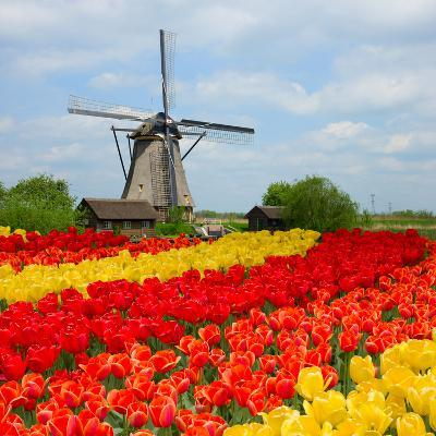 Dutch Windmill over Tulips Field-neirfy-Photographic Print