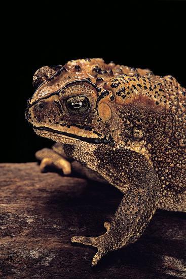 Duttaphrynus Melanostictus (Spectacled Toad)-Paul Starosta-Photographic Print