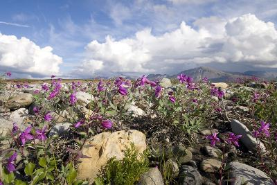 Dwarf Fireweed Bloom Along the Canning River in Anwr. Summer in Arctic Alaska-Design Pics Inc-Photographic Print