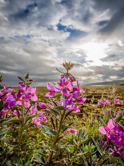 Dwarf Fireweed, (Chamerion Latifolium) Thorsmork, Iceland--Photographic Print