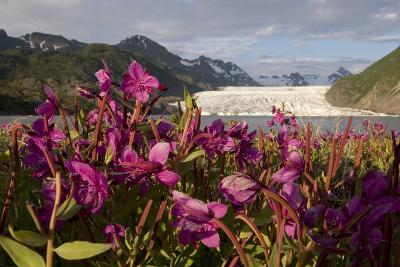 Dwarf Fireweed Growing on the Shoreline of Grewingk Glacier Lake with Glacier in Background-Design Pics Inc-Photographic Print