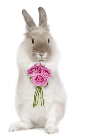 Dwarf Lion-Head Rabbit on Hind Legs Holding Flowers--Photographic Print