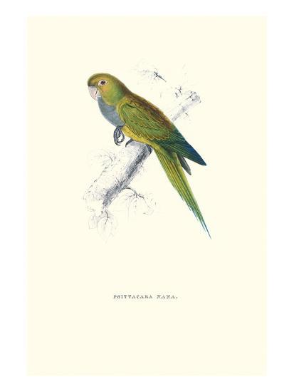 Dwarf Parakeet Macaw - Aratinga Nana-Edward Lear-Art Print