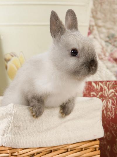 Dwarf Rabbit--Photographic Print