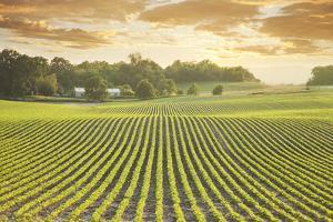 Soybean Field at Sundown by DWStock