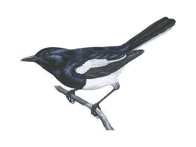 Dyal (Copsychus Saularis), Birds-Encyclopaedia Britannica-Art Print