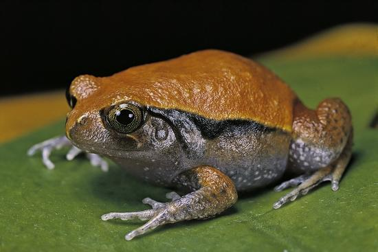 Dyscophus Guineti (False Tomato Frog)-Paul Starosta-Photographic Print