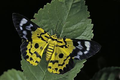 Dysphania Sp. (Moth)-Paul Starosta-Photographic Print